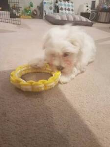 Sell lovely Bichon Frise * Maltese Puppy Southbank Melbourne City Preview