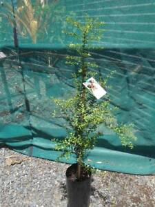Finger Lime Tree, grafted, red fleshed fruit, Citrus australasica West Ballina Ballina Area Preview