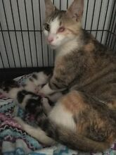 Cat and 5 kittens need rescue! Arndell Park Blacktown Area Preview