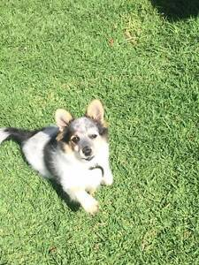 Giveaway dog for loving home Kearneys Spring Toowoomba City Preview