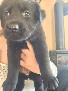 Black Lab Shepherd mix puppies