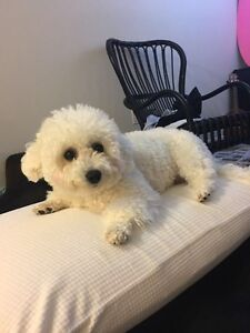 Not available for now!Small Bichon Frise for Rehoming London Ontario image 1