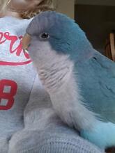 LOST - Blue Quaker Parrot Cessnock Cessnock Area Preview