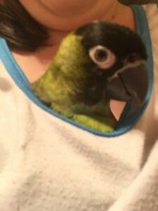 Hand Reared Female Nanday Conure 5 months old Bentleigh Glen Eira Area Preview