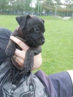 Purebred English Staffy puppies