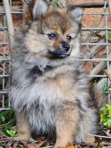 Beautiful Pomeranian for sale!