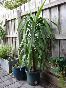 yucca singles over 50 There are at least 50 species of yucca within the  distributed over a wide area from canada into  the single trunk up to 20ft tall has attractively.