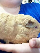 Baby Guinea,girl Riverview Ipswich City Preview