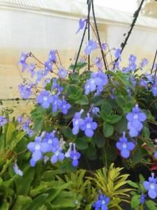 Nodding Violets, hanging West Ballina Ballina Area Preview