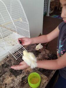Baby canary bird