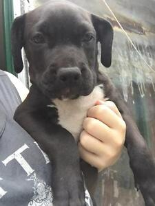 Pure American staffy pups Tingalpa Brisbane South East Preview