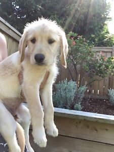 F1 Labradoodle Puppies !!Ready Now!