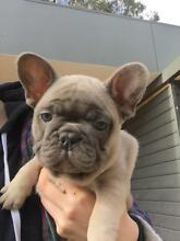Pedigree French Bulldog puppies Mulwala Corowa Area Preview