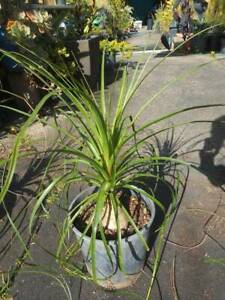 Ponytail Palm, Beaucarnea recurvata West Ballina Ballina Area Preview