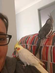 Semi Hand tame weiros cockatiels x3 with cage Eden Hill Bassendean Area Preview