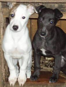 LOOKING FOR Whippet  purebred Heidelberg Banyule Area Preview