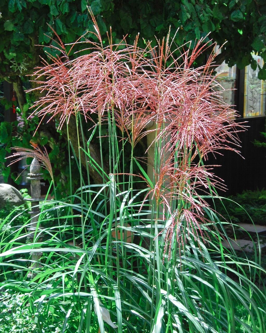 chinaschilf purpur rot miscanthus sinensis 200 samen. Black Bedroom Furniture Sets. Home Design Ideas