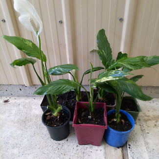 Peace lilly plants