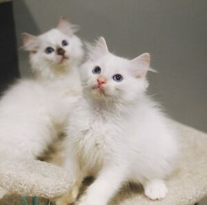 Purebred ragdoll kittens ready to new home Blacktown Blacktown Area Preview
