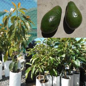 Grafted Avocado trees, Bacon,  Hass, Sharwill West Ballina Ballina Area Preview