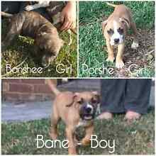 3 gorgeous bull breed puppies 16 weeks old Campbelltown Campbelltown Area Preview