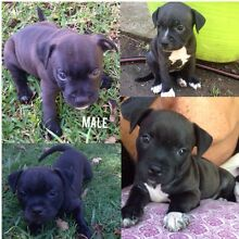 English Staffy Pups For Sale Chevallum Maroochydore Area Preview