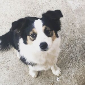 border collie looking for new adoption Notting Hill Monash Area Preview