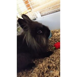 5 month old Lion head bunny for sale