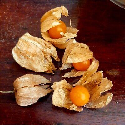Physalis peruviana - Uvilla Uchuva - fruta huerto jardin 550 semillas seeds