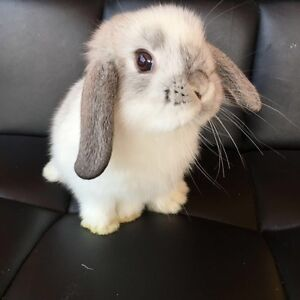 Mini Lop baby rabbits Malaga Swan Area Preview