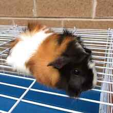 Baby guinea pig and cage for sale Chatswood Willoughby Area Preview