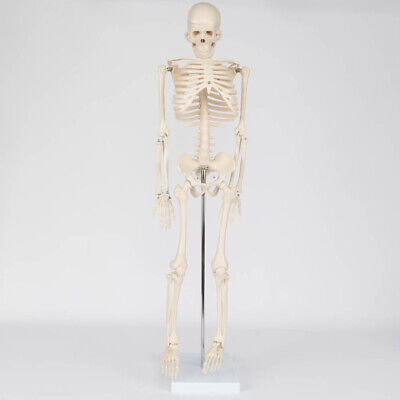 Life Size Medical Anatomical Human Skeleton Model With Rolling Stand 85cm 33.5