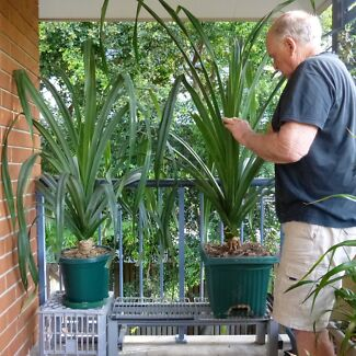 Pandanus plants Ascot Brisbane North East Preview