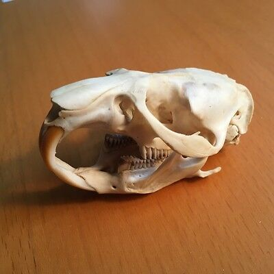 MUSKRAT Skull Wild Animal Rodent Real Bone Museum Mammalogy Science School Craft