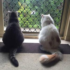Cats to a new loving home! St Lucia Brisbane South West Preview