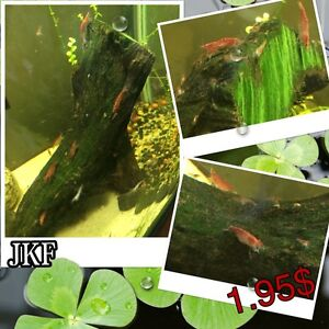 Cherry shrimps  ( JKF winter sale