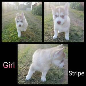 Siberian Husky Puppies Warwick Southern Downs Preview