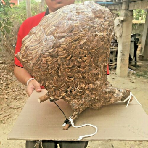 Huge Paper Wasp Bald Real Hornet Giant Asian Project Science Taxidermy insect