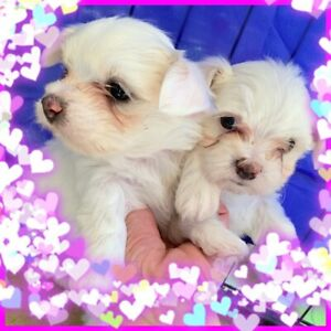 maltese puppies | Dogs & Puppies | Gumtree Australia Free