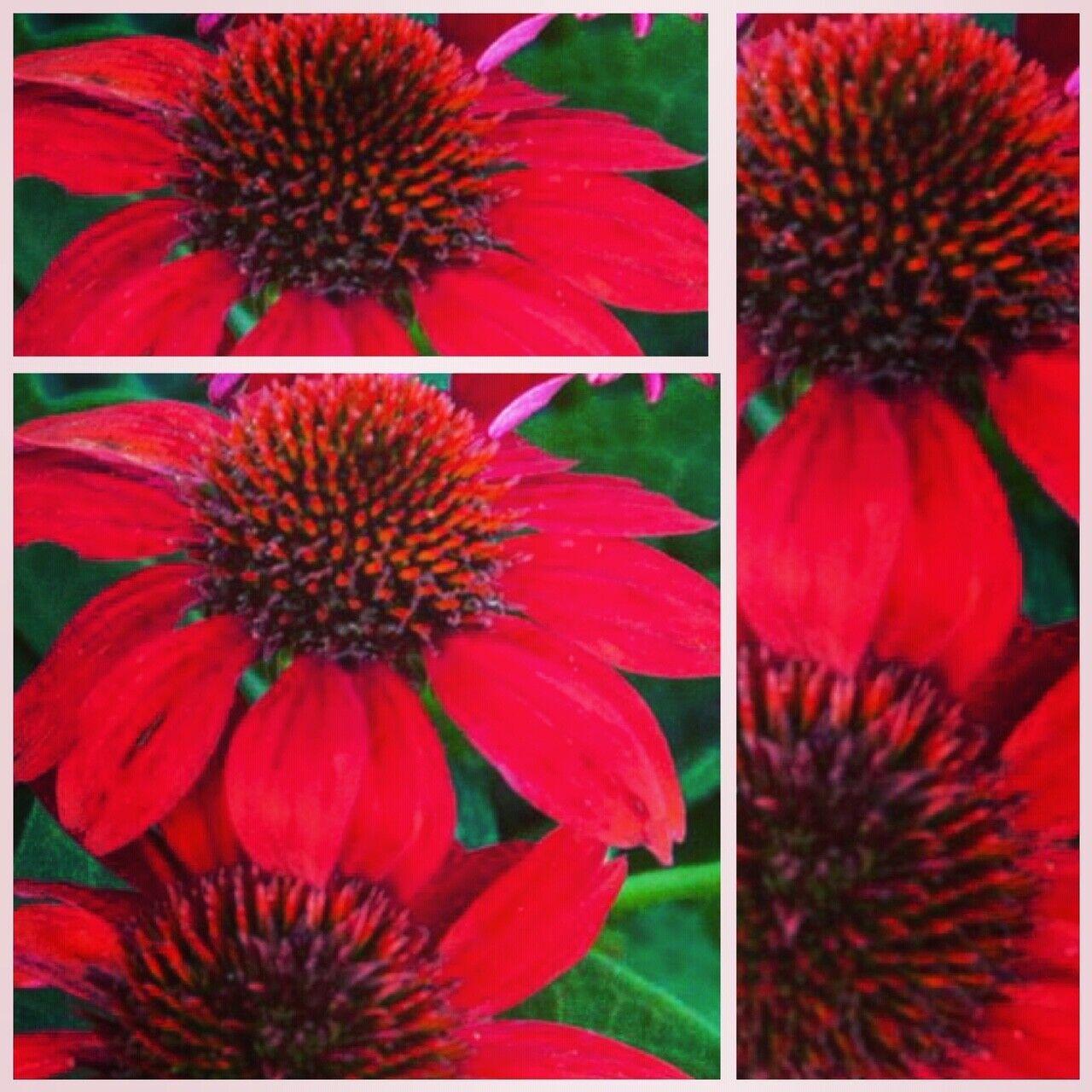Echinacea purpurea Salsa Red~ Staudengarten ~Bienenfreund