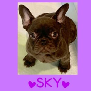 Top Quality CKC Registered French Bulldog Puppies