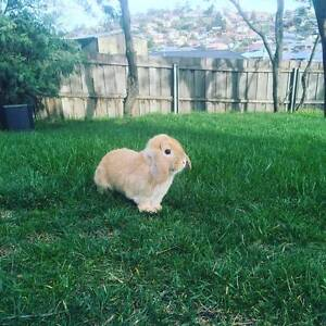 "Rabbit for sale ""Wallis"" Lenah Valley Hobart City Preview"