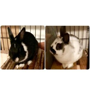 2 adult Bunnies plus divided cage & accessories