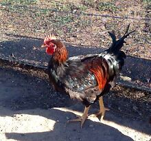 Two Barnevelder Rooster (born Sept 2015) Stawell Northern Grampians Preview