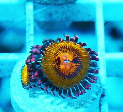 Butt Kisser Paly Palythoa Zoanthids Paly Zoa Soft Coral WYSIWYG - $20.50