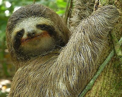 Sloth / Sloths 8 x 10 GLOSSY Photo Picture IMAGE #3