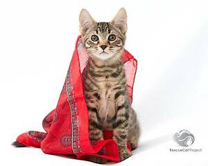 Jet - the amazing kitten Mascot Rockdale Area Preview