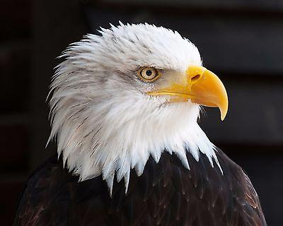 Bald Eagle Photograph (8X10) New Color Print Picture Photo Art Birds Photography