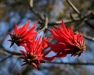 Korallenbaum•Erythrina lysistemon• 10 Samen/seeds Korallenstrauch•Coral Tree