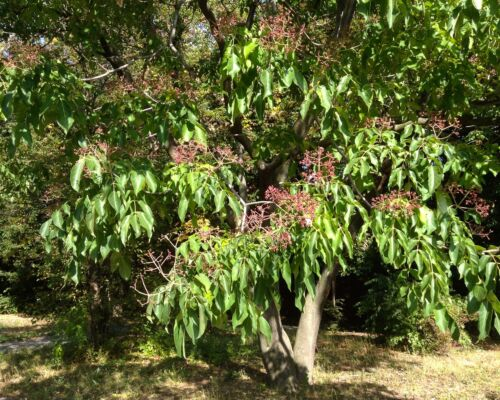 50 Samen Bienenbaum - Honigbaum - Tetradium daniellii (Evodia hupehensis) seeds